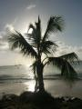 St. Lucia Palm Tree